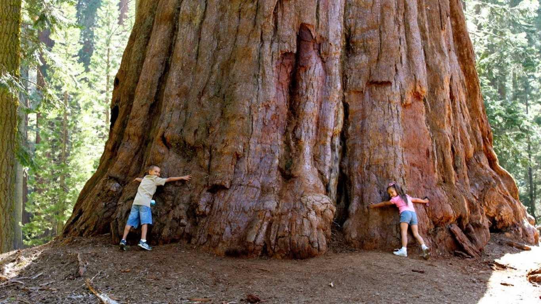Калифорнийская секвойя в строительстве